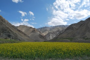 "The ""mustard meadow"" amidst the mountains"