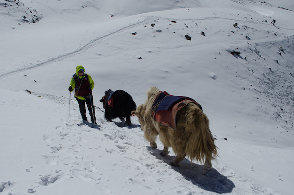 Yaks too walk towards Throung la