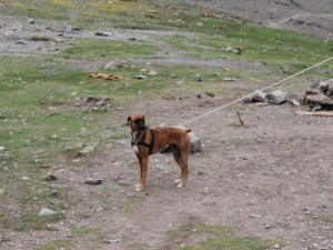 Santi, the boxer at the Stok Kangri Base Camp - 5100m