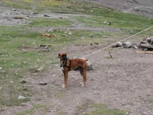 Santi, the boxer at the Stok Kangri Base Camp - 5100m