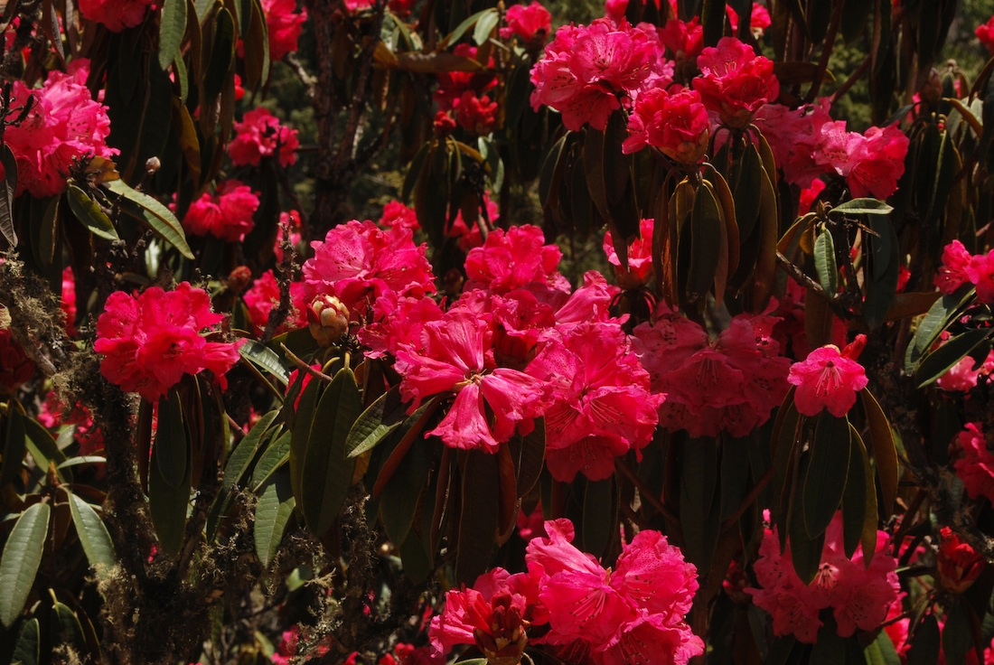 More Rhododendrons