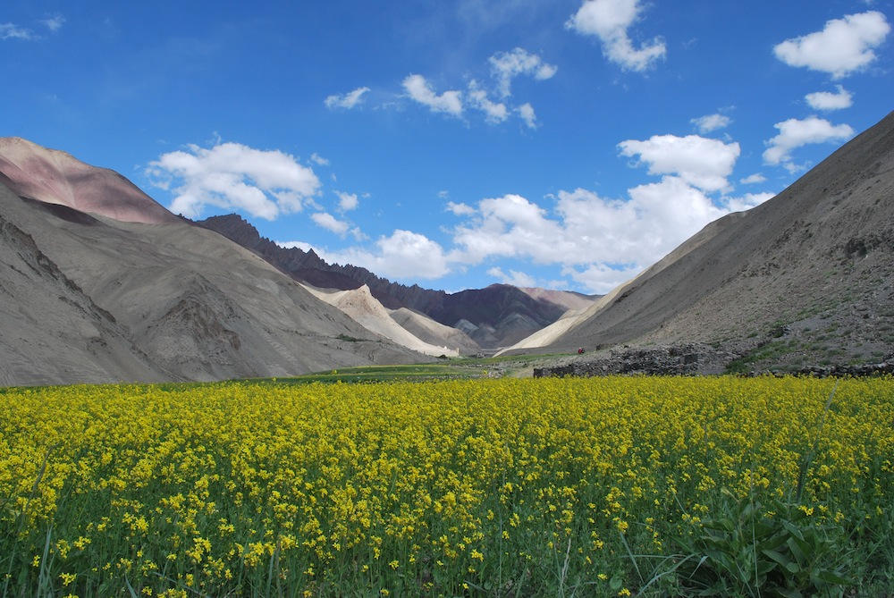 The mustard meadow amidst the mountains