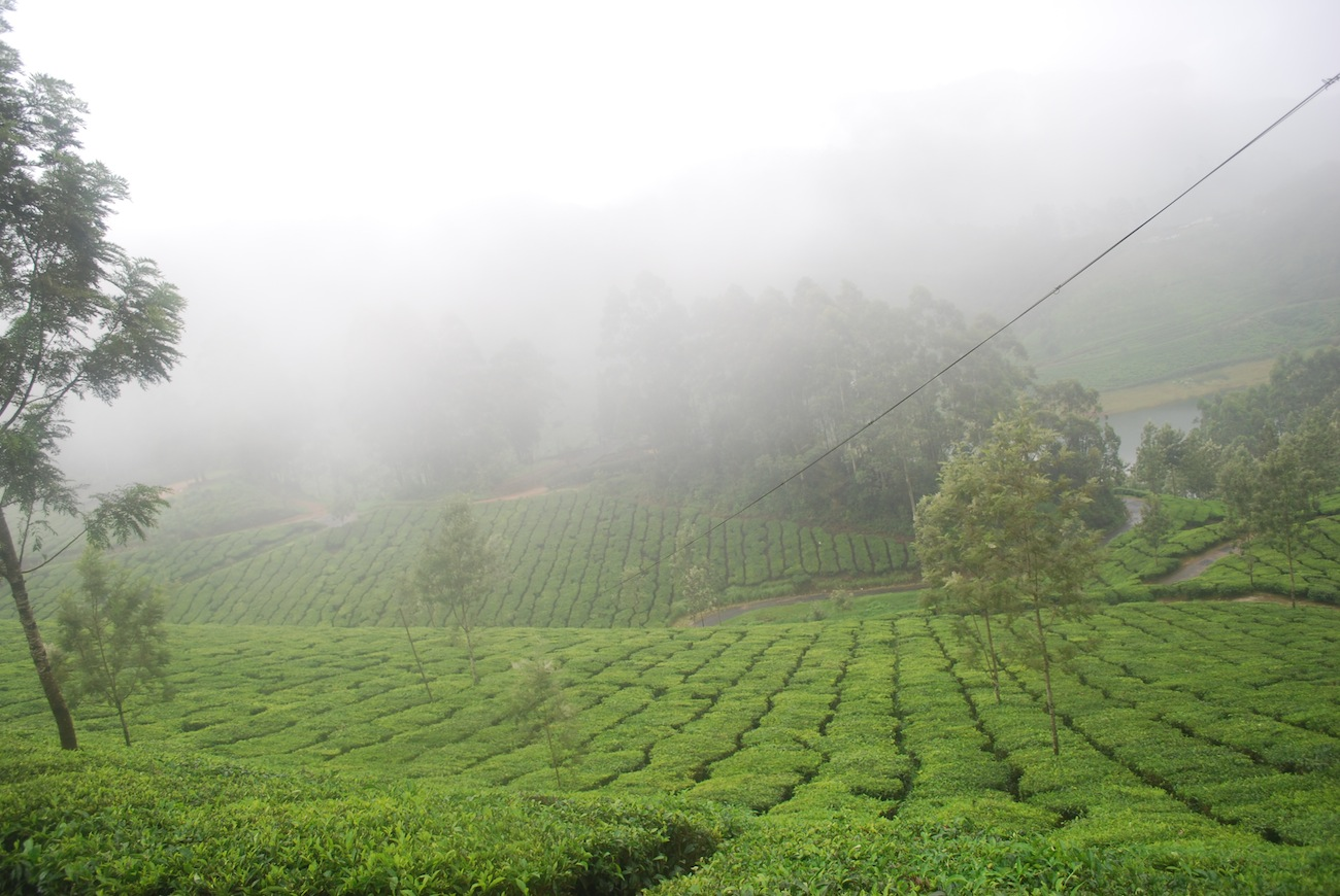Foggy Tea Plantation
